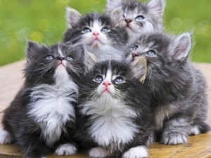Adorable-Grey-Kittens-1280x960