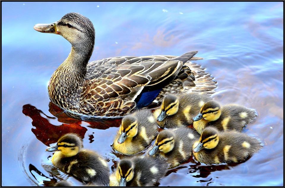 duck-715568_960_720